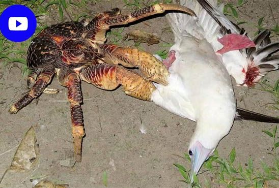 Video viral of appalling crab to hunt bird